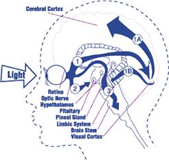Valguse teekond silmast ajju